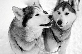 Schlittenhunde-Urlaub in Lappland