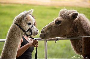Alpaka Und Lama Wanderung Fur Vier Personen Erlebe Jollydays